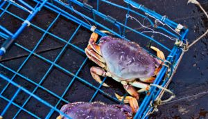 dungeness crabs in trap