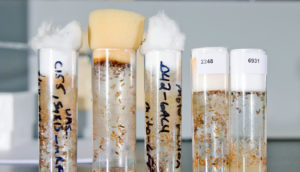 fruit fly larvae in tubes