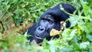 gorilla hides among plants