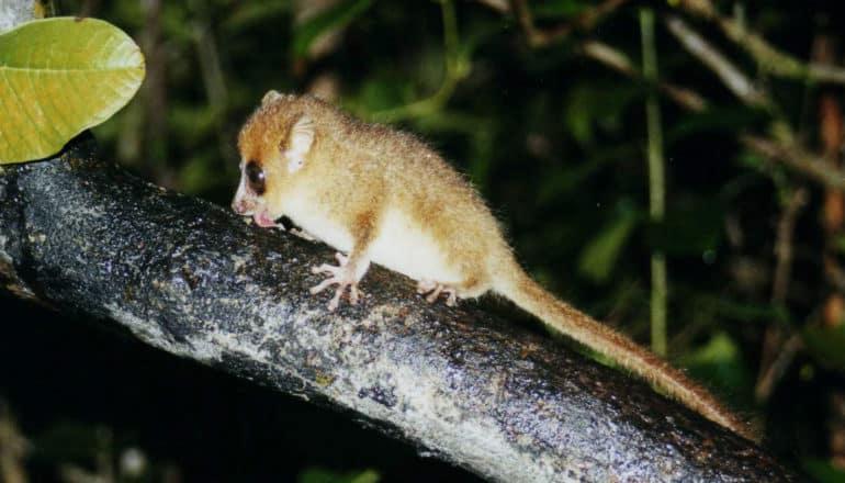mouse lemur licks branch