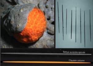 orange puffball sea sponge spicule