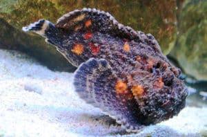 stinging stonefish