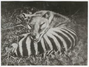 thylacine photo