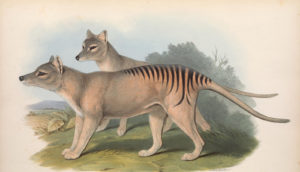 thylacine illustration