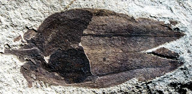 fossil tomatillo Physalis