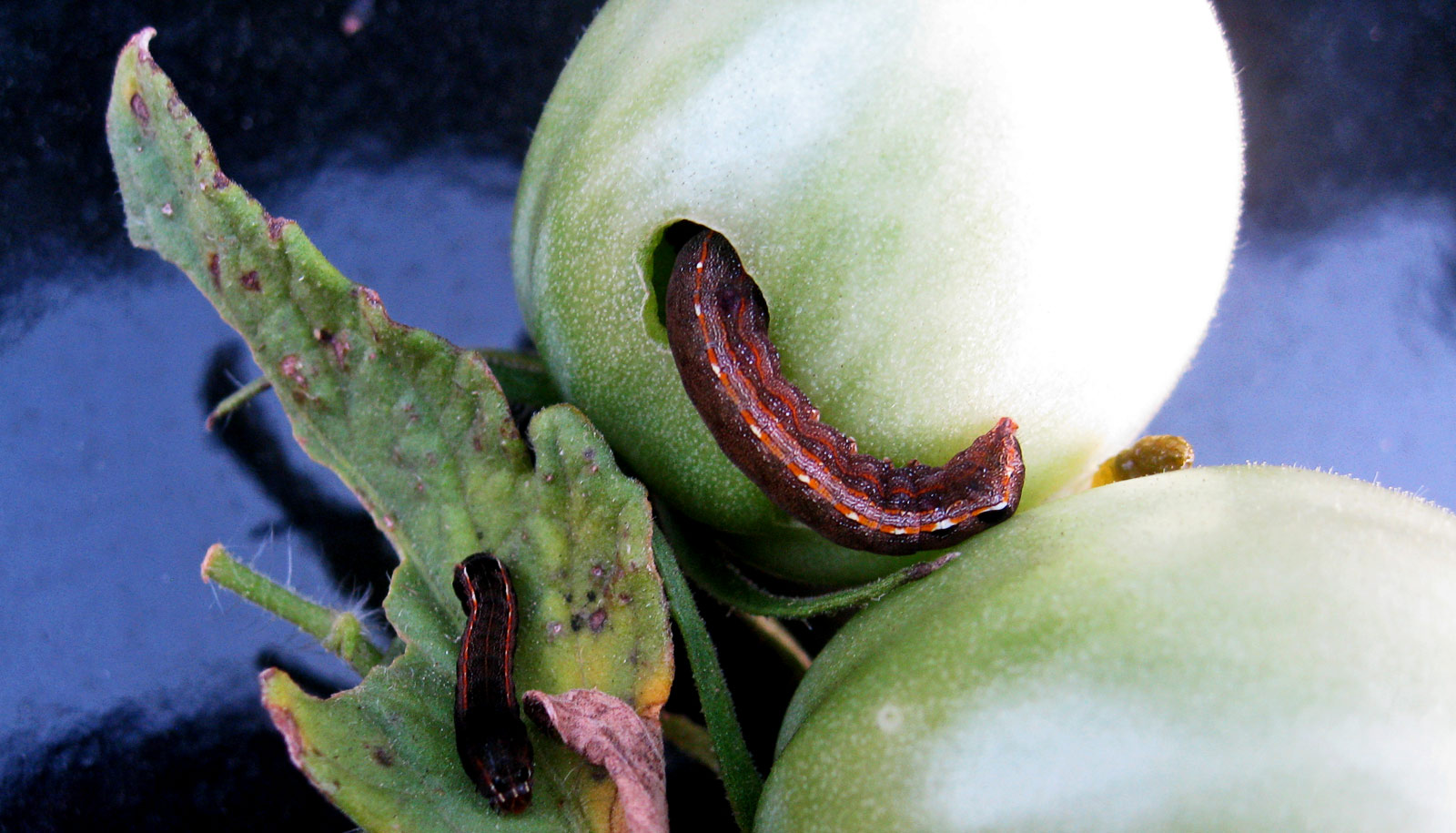 These pests use bacteria to keep plants clueless