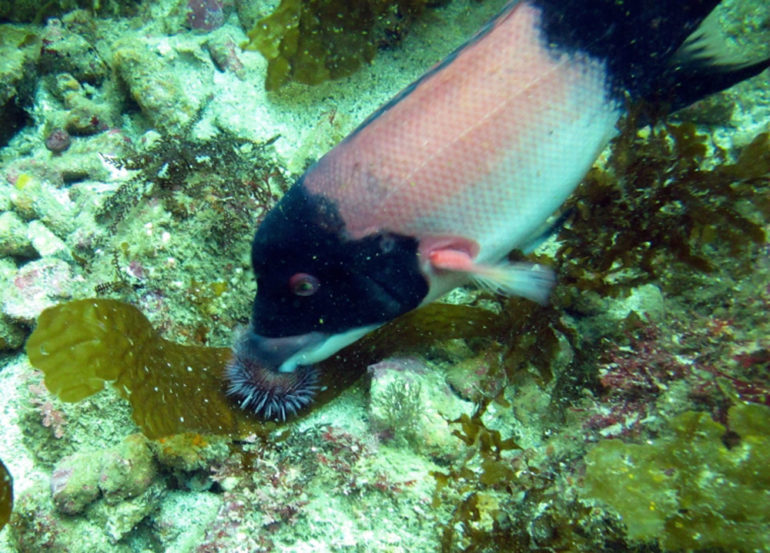 sheephead eats urchin