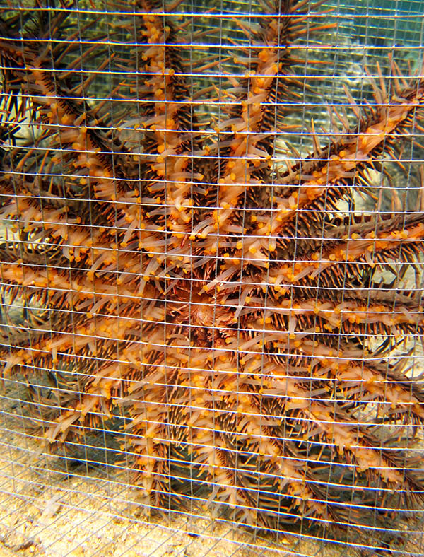 crown of thorns sea star in a cage