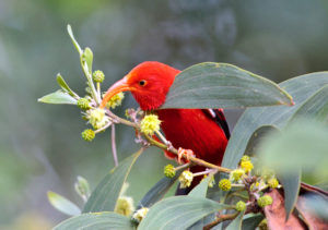scarlet honeycreeper bird