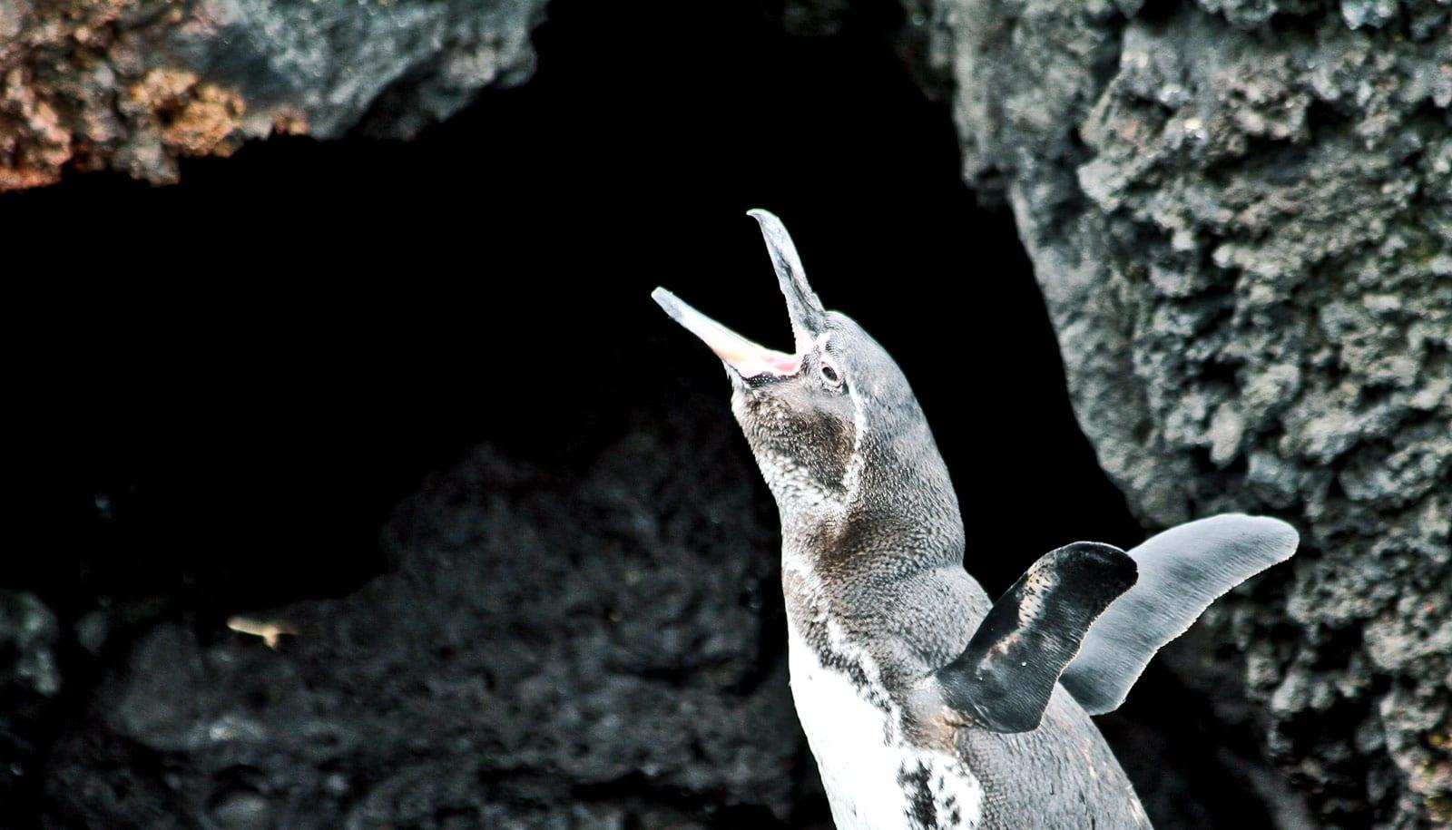 Some penguins mooch off parents after leaving the nest