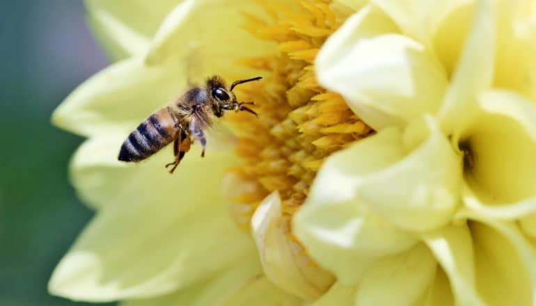 honey bee at yellow dahlia