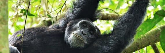 chimpanzee in tree