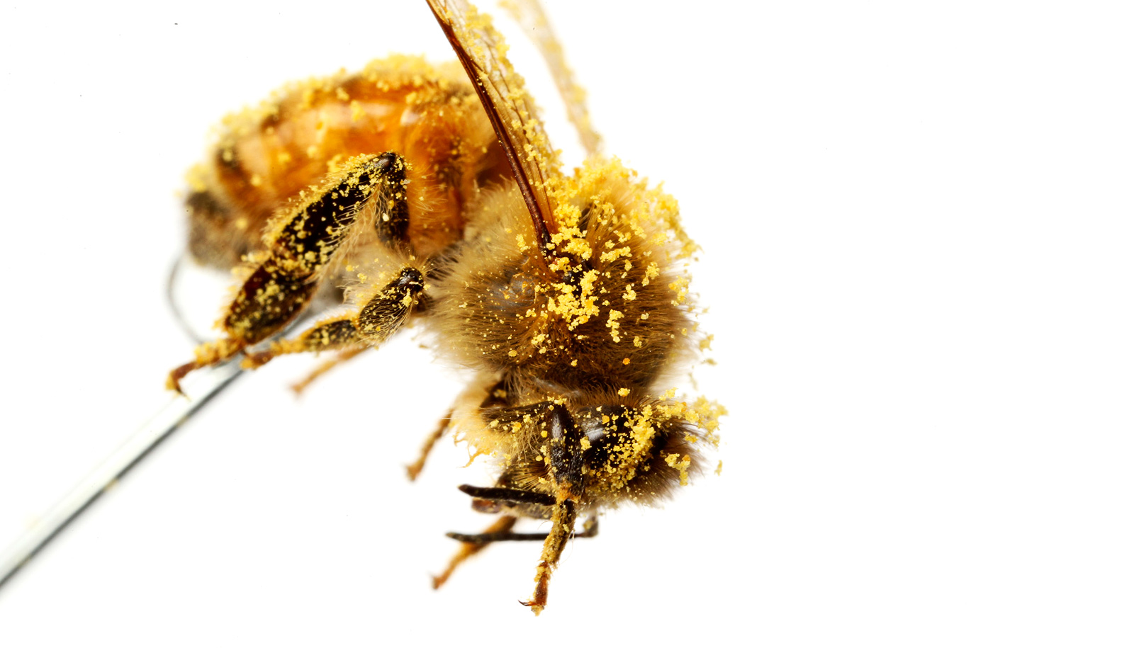 watch honey bees clean pollen off their hairy eyes futurity