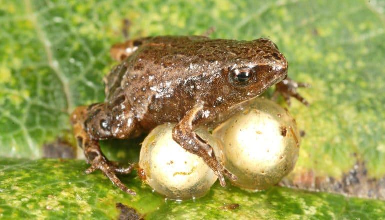 Noblella pygmaea frog with eggs