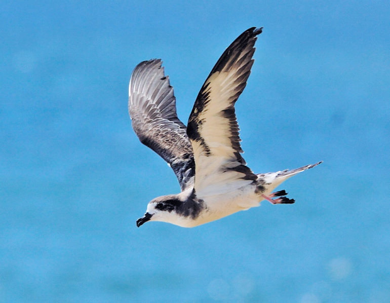 Hawaiian petrel in flight
