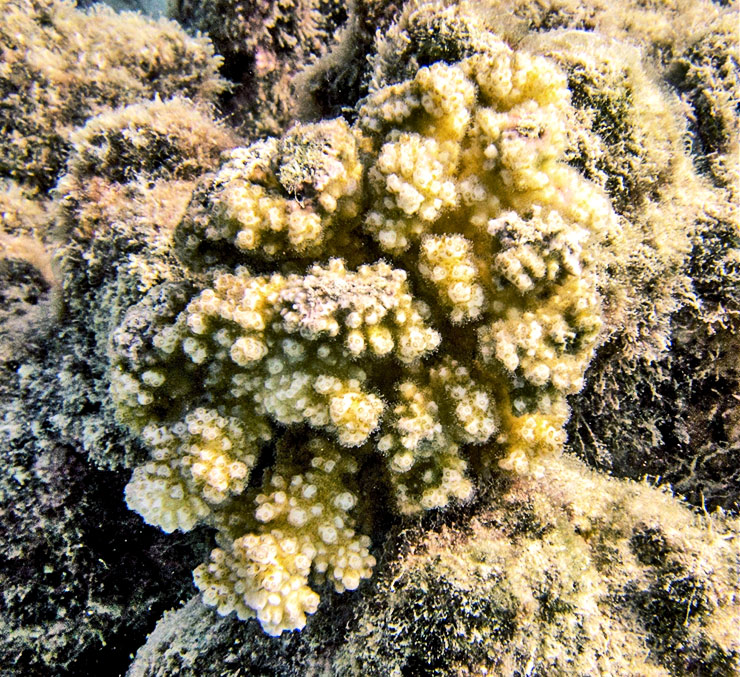 cauliflower coral reef in Moorea