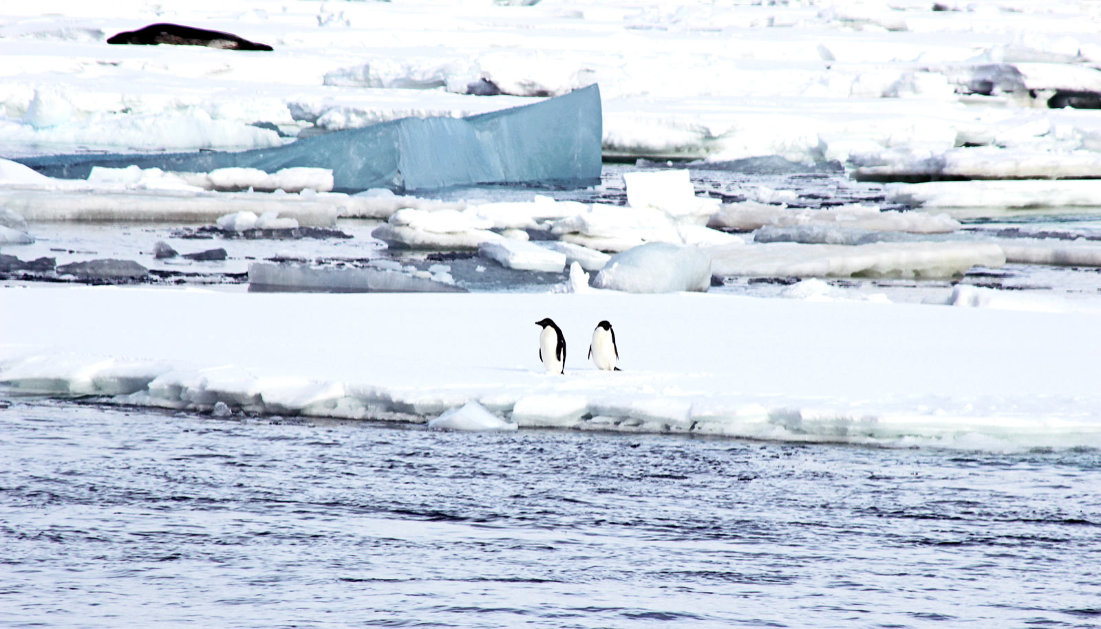 two penguins on ice