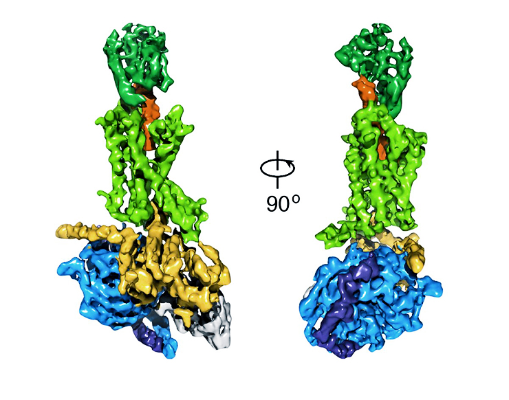 A cryo-EM density map of an activated G protein-coupled receptor complex