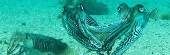 cuttlefish fight