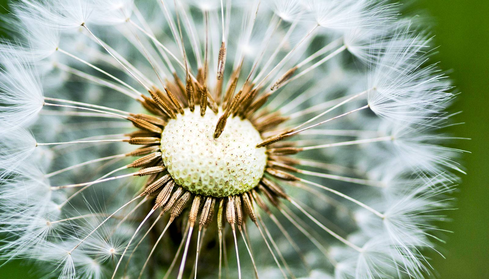 Fluffy Dandelion Seeds Make Great Tools In The Lab Futurity