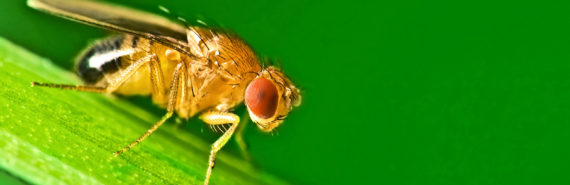 fruit fly on green background