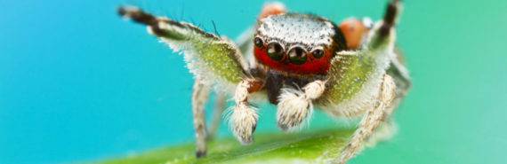 jumping spider male