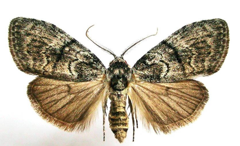 male Uraba lugens moth