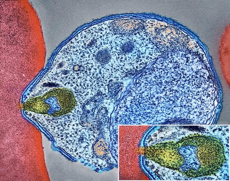Plasmodium parasite invading red blood cell up close