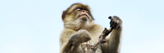 barbary ape at top of tree