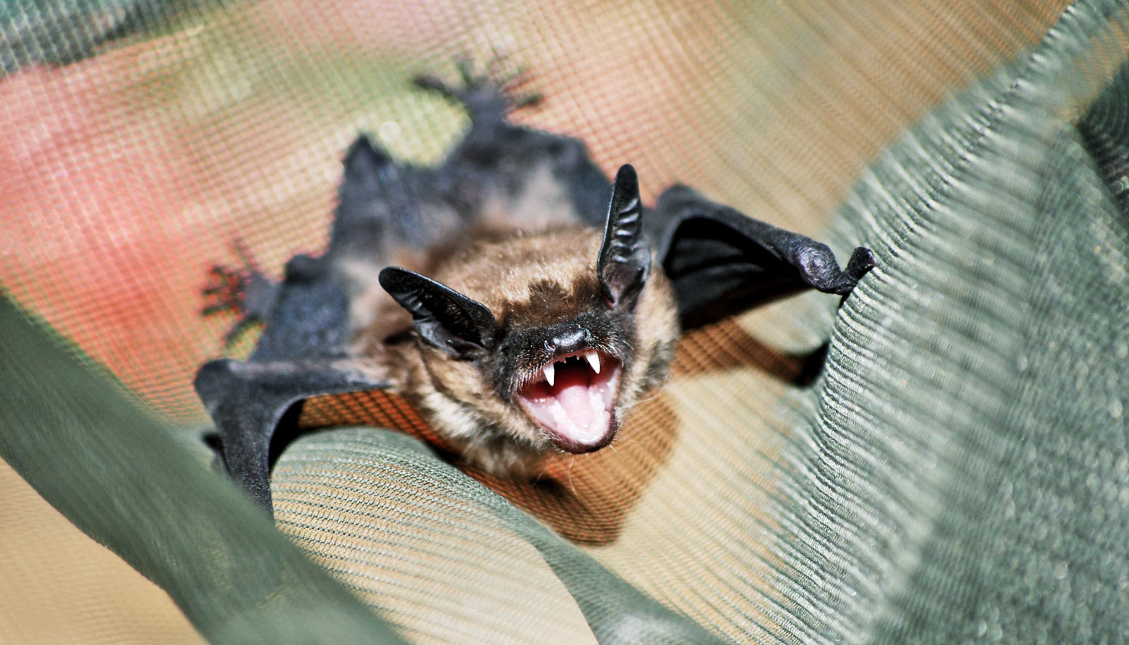 Bats can raise their voice in just 30 milliseconds - Futurity
