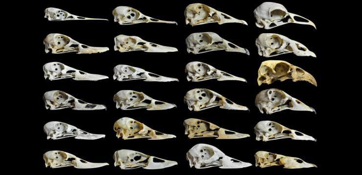 waterfowl beaks