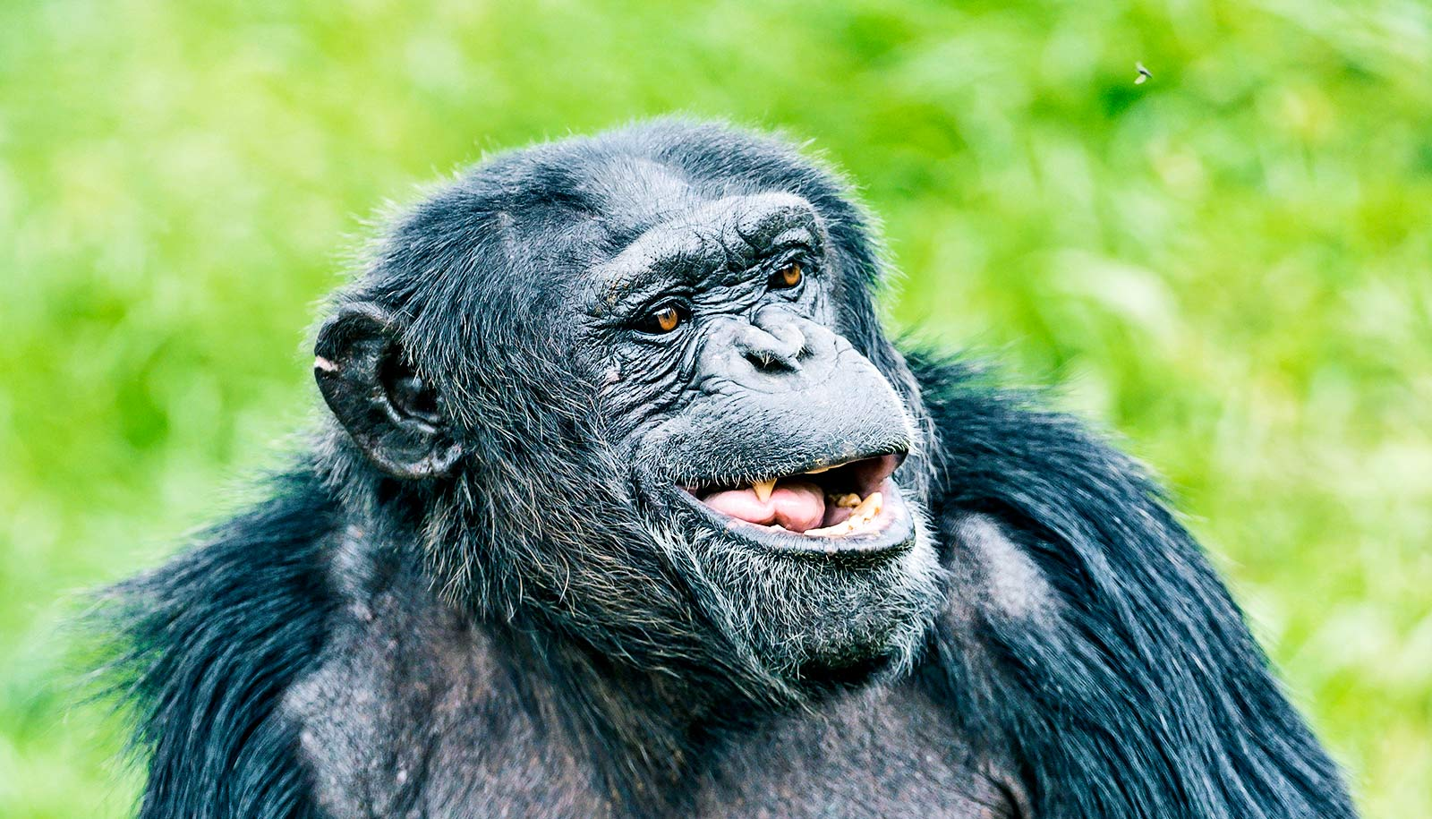 could apes ever learn to speak like people futurity
