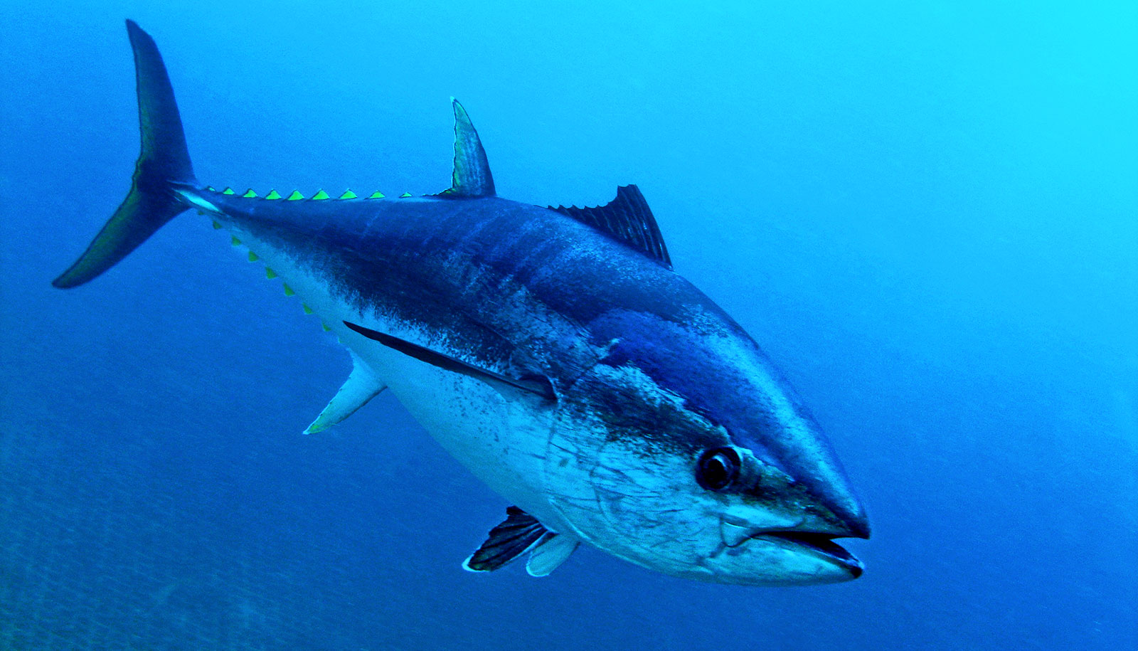 hydraulic system in fins gives tuna extra speed futurity