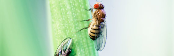 two fruit flies on stalk