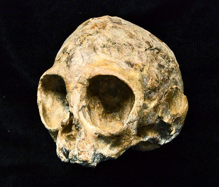 Alesi skull, cleaned