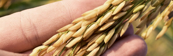 rice grains in hand