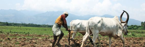 farmer with oxen in Tamil Nadu, India