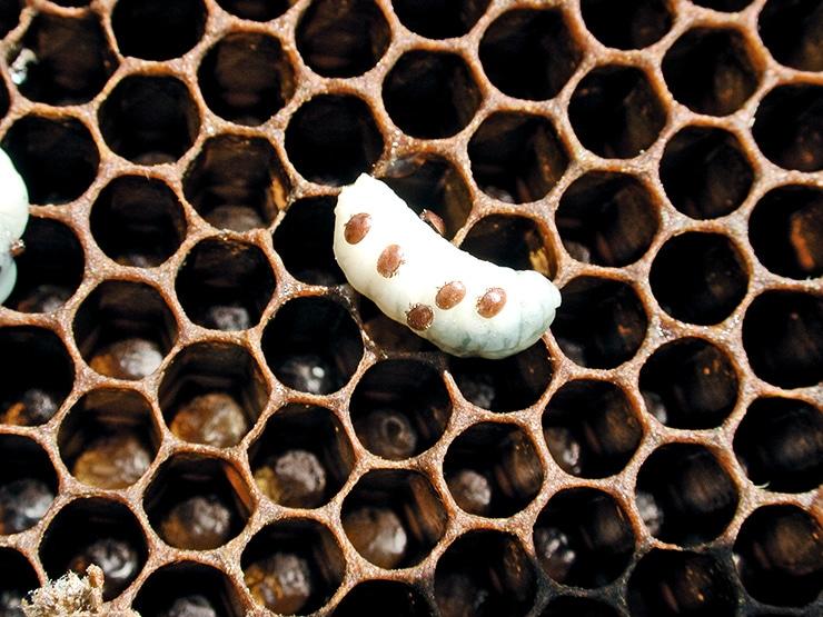 varroa mites on larva