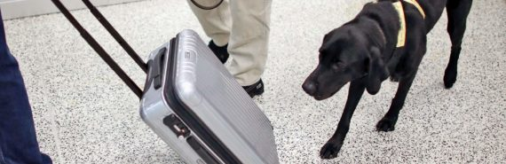 dog sniffs suitcase in airport