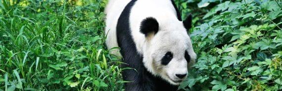 giant panda walking