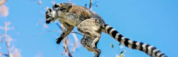 leaping lemur against blue sky