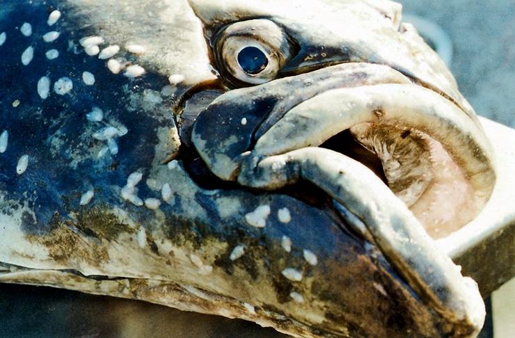old halibut
