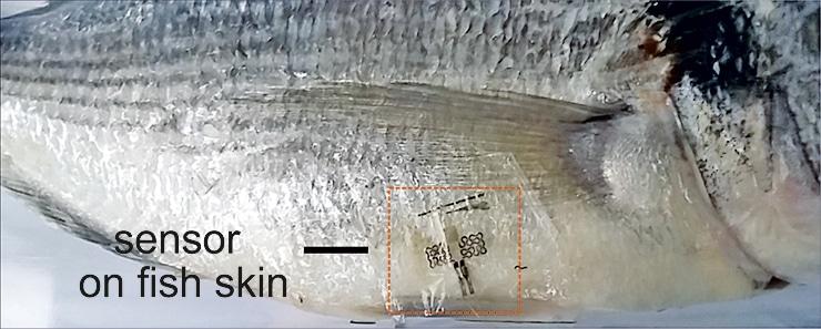 sensor on fish skin