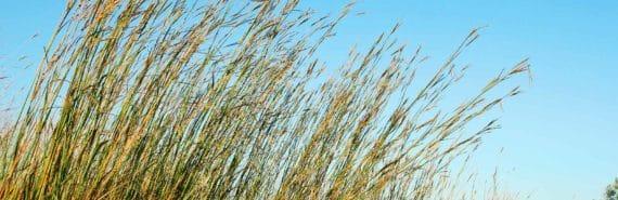 bluestem tall grass