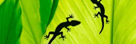 geckos on a leaf