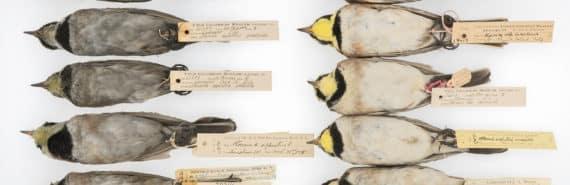 horned larks comparison