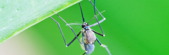mosquito hangs under green leaf
