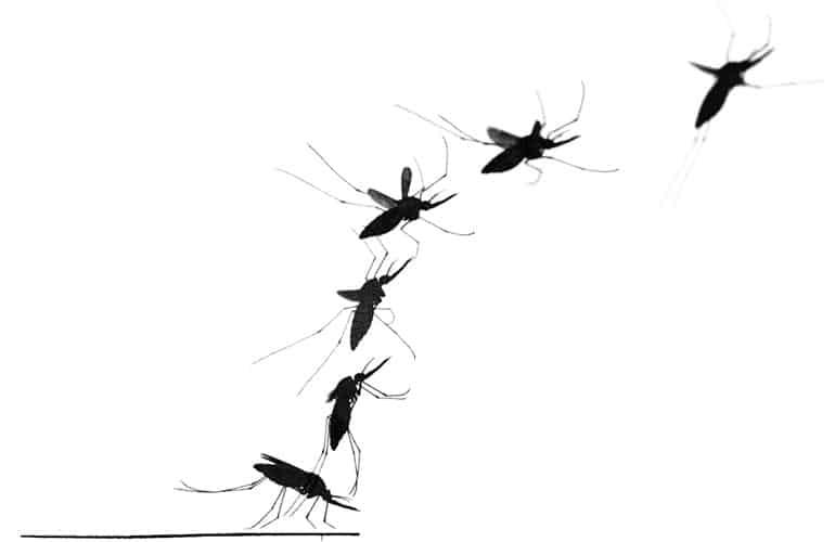 mosquito montage image
