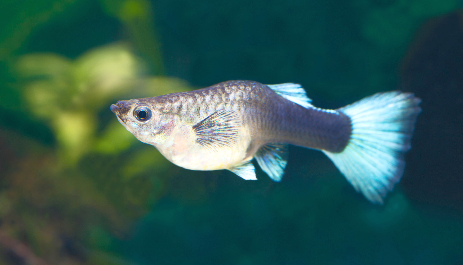 to win a food fight some guppies wait to be born futurity