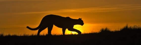 puma silhouette against the sunrise